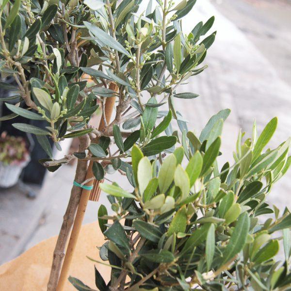 Alyvmedis (olea europaea) kambarinis augalas medelis olive tree gėlės ir manufaktūra