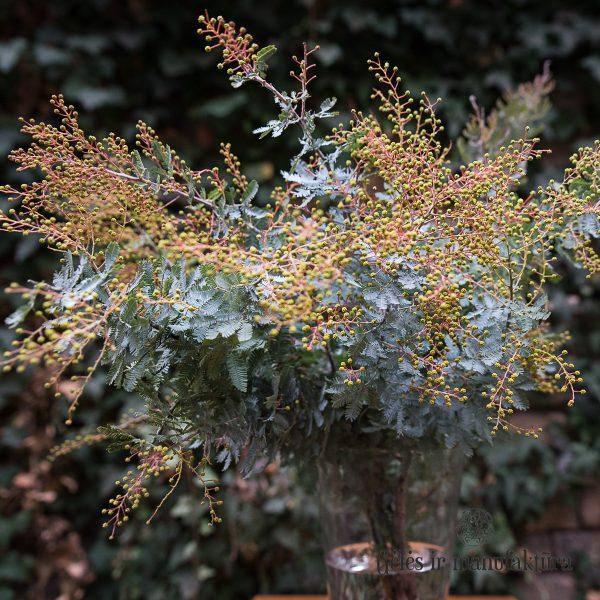 mimosa acacia yellow italy italia mimoza akacija