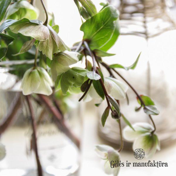 helleborus winterbells čėras geles ir manufaktura