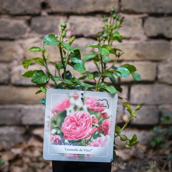 garden roses rosa Leonardo da Vinci shrubrose floribunda sodo rožės geles ir manufaktura augalas
