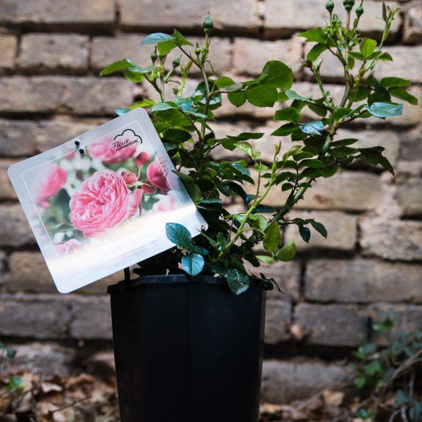 rosa floribunda garden sodo bijūninė rožė Leonardo da vinci garden rose gėlės ir manufaktūra