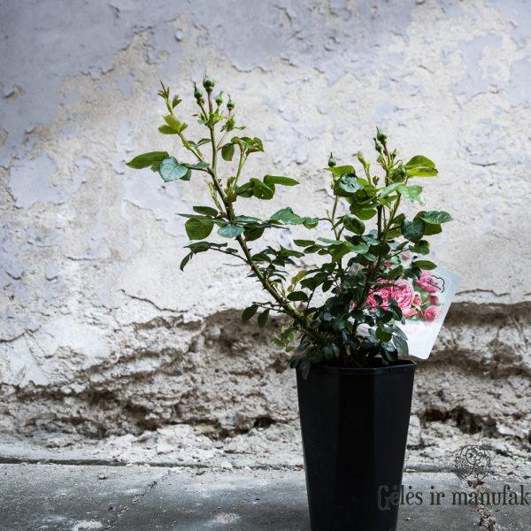 Bijūninė pomponinė rožė pompon garden floribunda