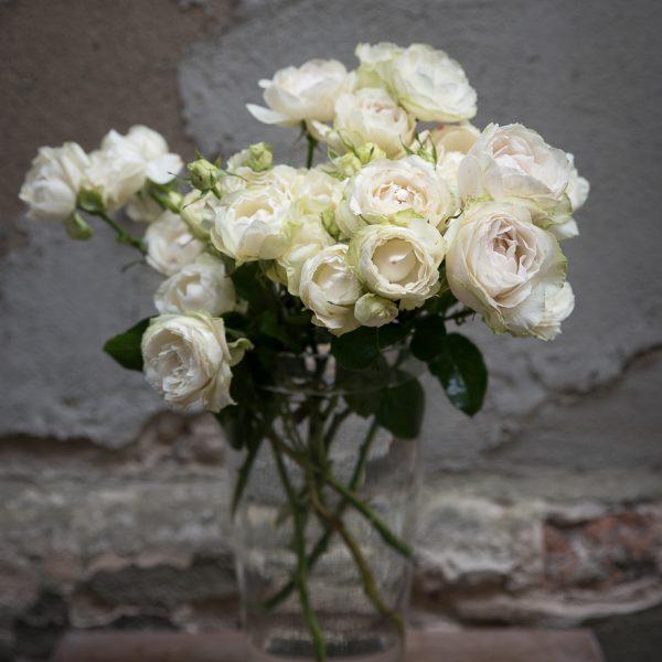 vanilla lace rožės garden roses sodo rožės gėlės ir manufaktūra