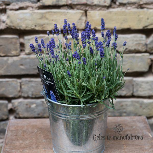 Lavandula angustifolia levanda augalas geles ir manufaktura plants lavender
