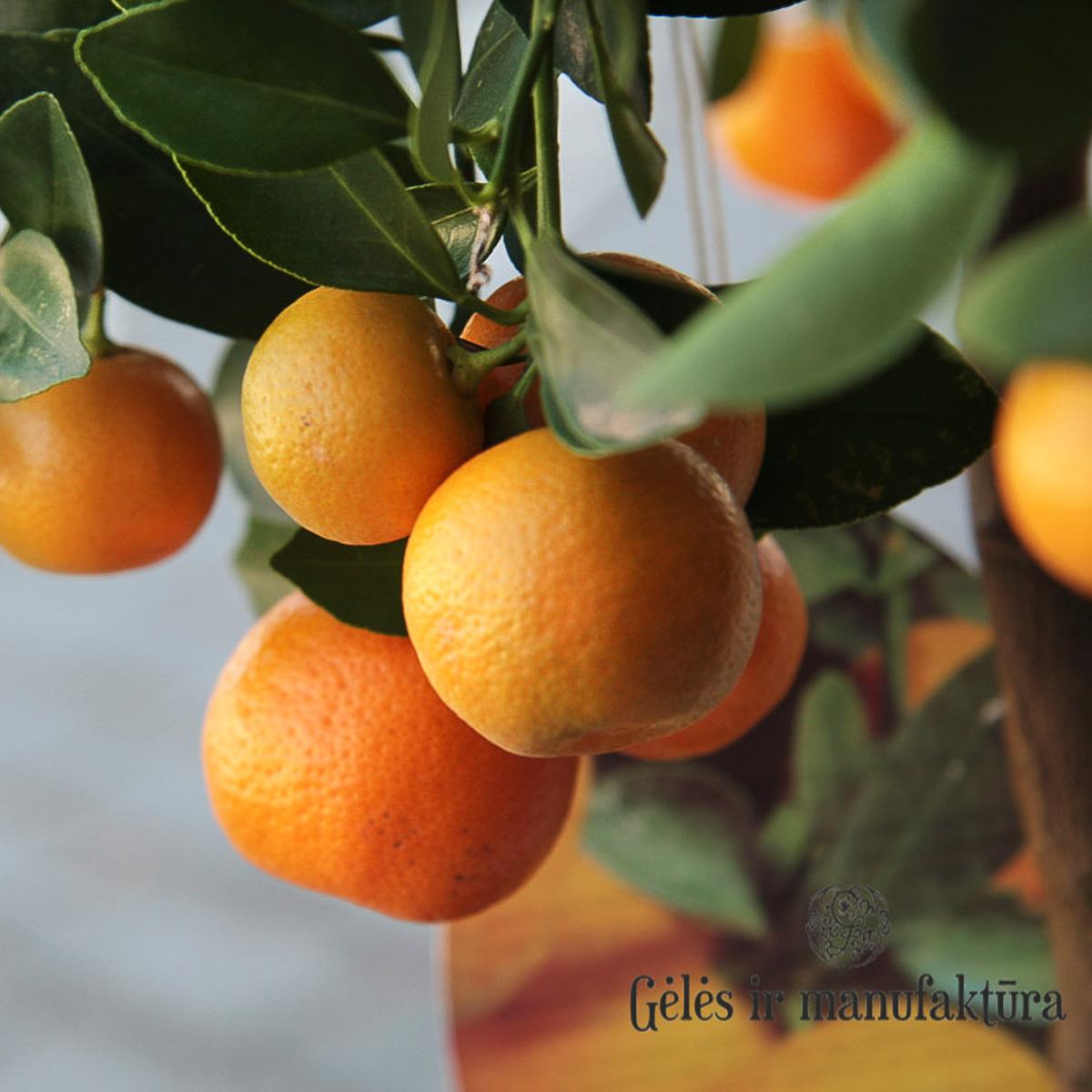 mandarinmedis citrofortunella calamondin vairi dyd i g l s ir manufakt ra. Black Bedroom Furniture Sets. Home Design Ideas