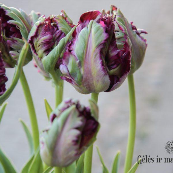 tulipa-black-parrot juoda papūginė tulips tulpės gėlės ir manufaktūra