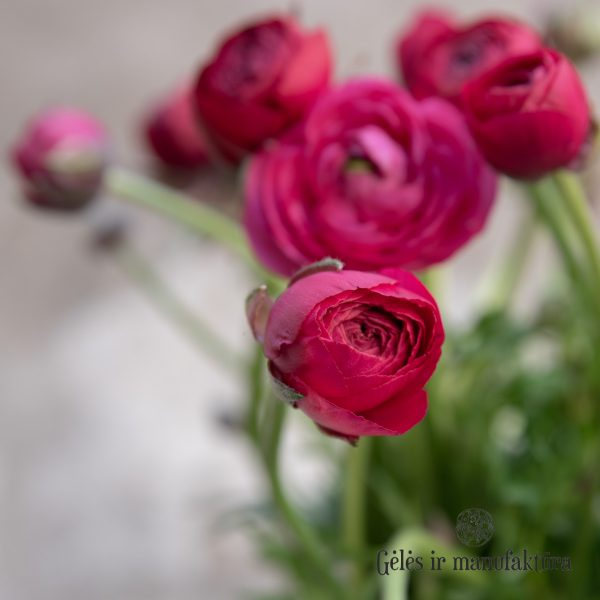 geles ir manufaktura flowershop Vėdrynas Ranunculus