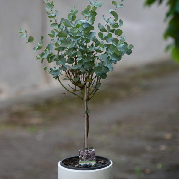 Eukaliptas augalas Eucalyptus gunnii plant geles ir manufaktura flowershop gumtree