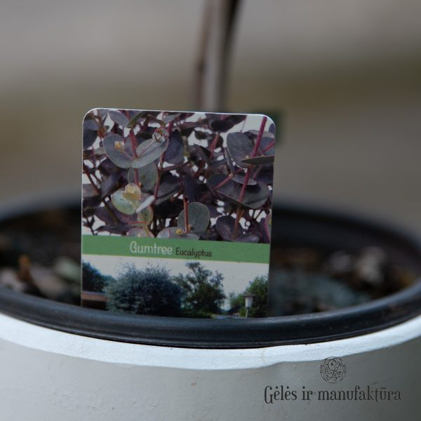 Eukaliptas augalas Eucalyptus gunnii plant geles ir manufaktura flowershop