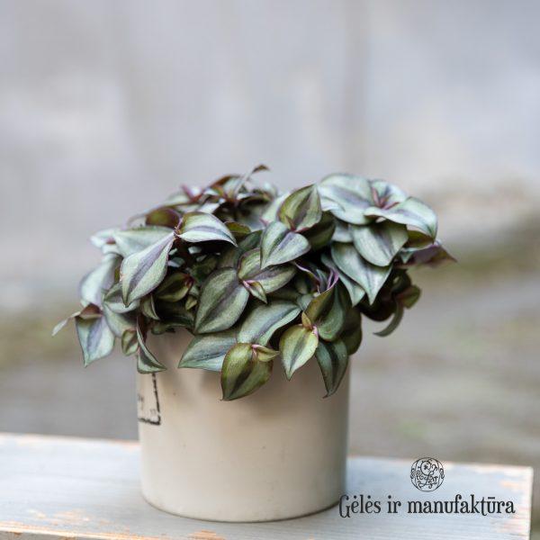 tradeskancija Tradescantia zebrina Violet Hill geles ir manufaktura flowershop plant