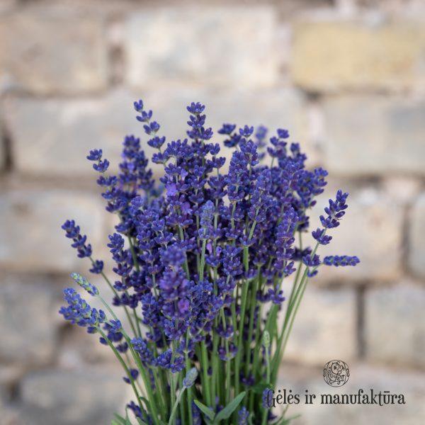 Levanda Lavandula angustifolia lavender flowers geles ir manufaktura flowershop levandos skintos