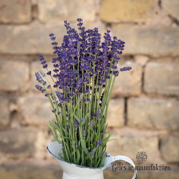 Levanda Lavandula angustifolia lavender flowers geles ir manufaktura flowershop