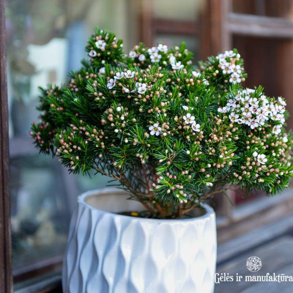 chamelaucium waxflower vaškagėlė plants augalas gėlės ir manufaktūra