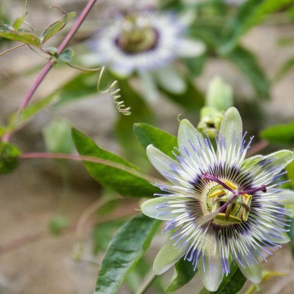 passiflora caerulea plants augalai passion flower gėlės ir manufaktūra