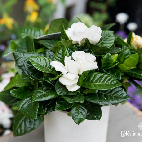 augalas gardenija gardenia jasminoides plant fragrant aromatic kvepianti gėlės ir manufaktūra