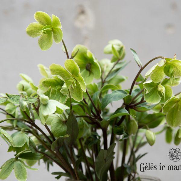 Heleboras Helleborus čėras eleboras gėlės
