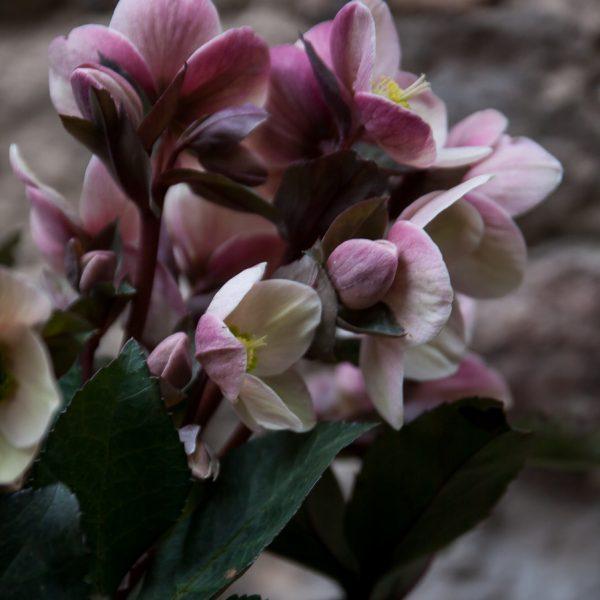augalas helleborus winter rose plants heleboras gėlės ir manufaktūra flowers čėras eleboras