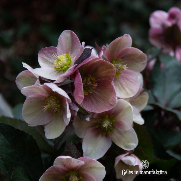 augalas helleborus hellebore winter rose plants heleboras gėlės ir manufaktūra flowers čėras eleboras