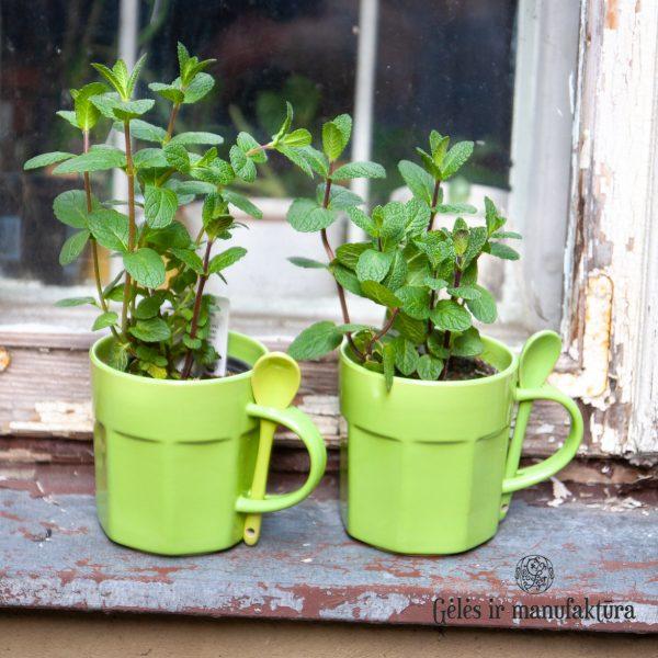 flowershop mėta mentha cup mug herbs prieskoninis augalas green gėlės ir manufaktūra augalai
