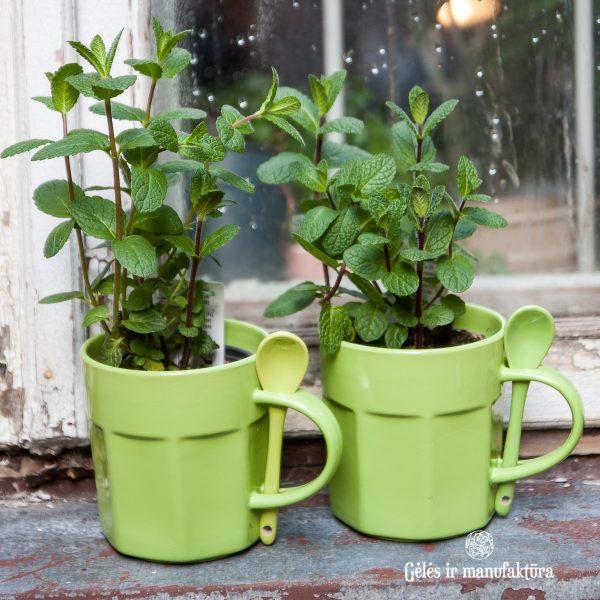 mėta mentha cup mug herbs prieskoninis augalas green gėlės ir manufaktūra augalai plants aromatic