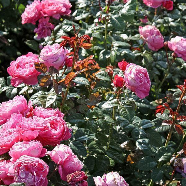 Garden rose Flora_Cologna_Kolner Flora bijunine sodo roze geles ir manufaktura