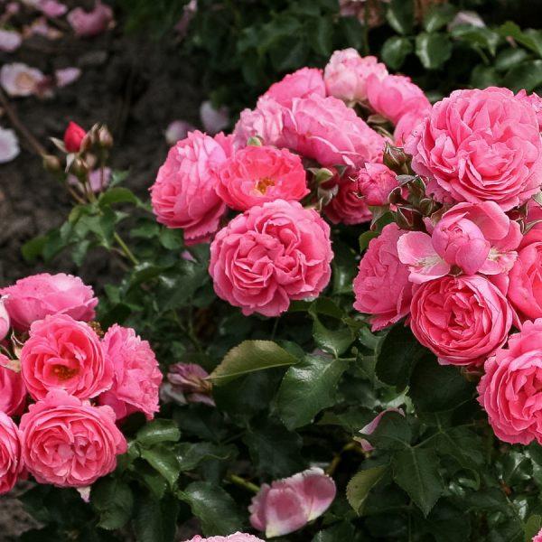 garden rose Moin_Moin pink flower circus sodo rožė gėlės ir manufaktūra