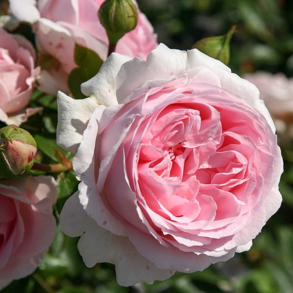 garden rose Wellenspiel sodo bijunine rožė gėlės ir manufaktūra pink