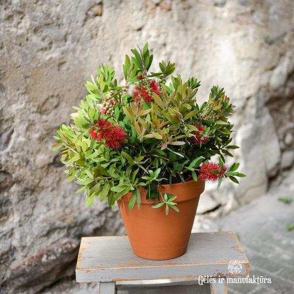 callistemon citrinus laevis flowers plants mediterranean gėlės ir manufaktūra