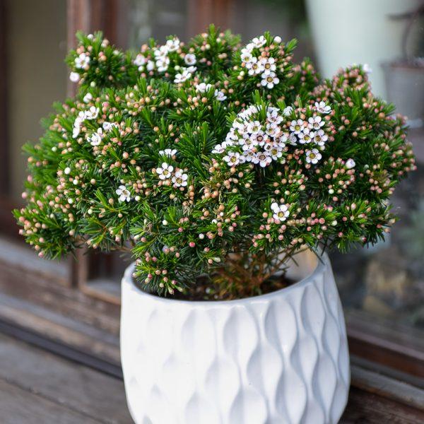 chamelaucium waxflower vaškagėlė plants spring pavasaris gėlės ir manufaktūra