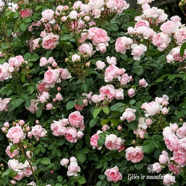 cinderella garden rose sodo bijūninė rožė gėlės ir manufaktūra