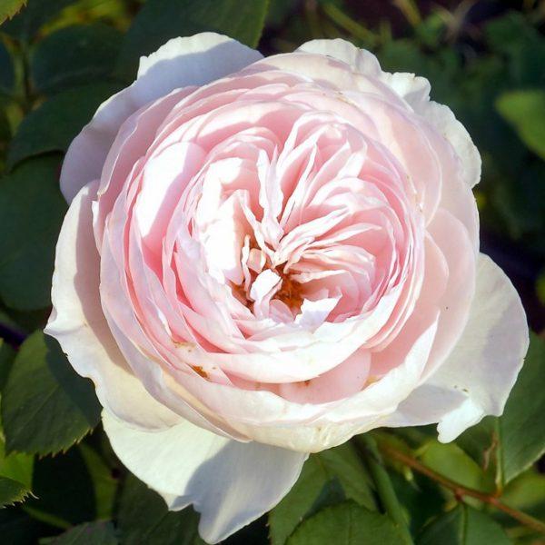 herzogin christiana garden rose sodo bijūninė rožė gėlės ir manufaktūra