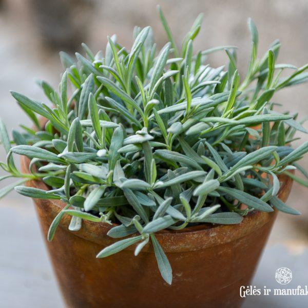 lavandula angustifolia levanda vaistinė lavendel lavande plants perennial augalas gėlės ir manufaktūra