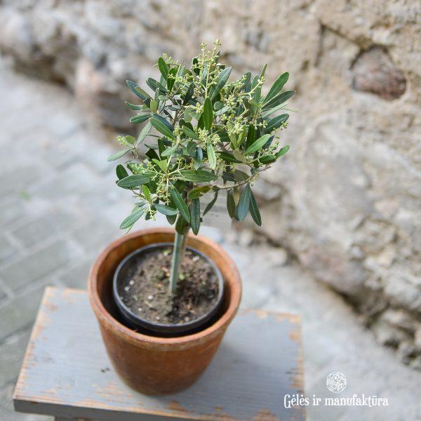 olea europaea olive tree alyvmedis plants perennial augalas gėlės ir manufaktūra