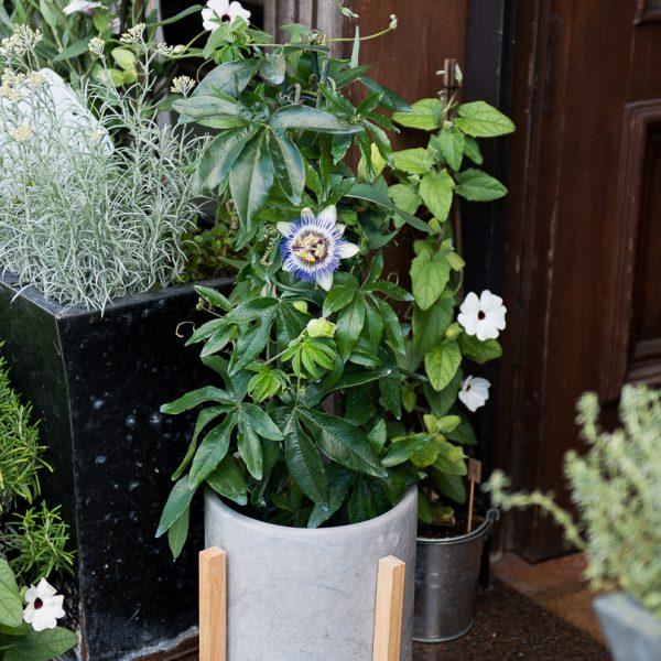 passiflora caerulea pasiflora augalas plants gėlės ir manufaktūra vazonas TT cementinis pot planter concrete
