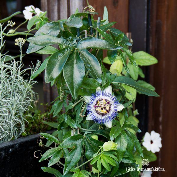 passiflora caerulea pasiflora augalas plants gėlės ir manufaktūra