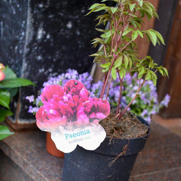peony paeonia bijūnas lactiflora plants perennial augalas gėlės ir manufaktūra
