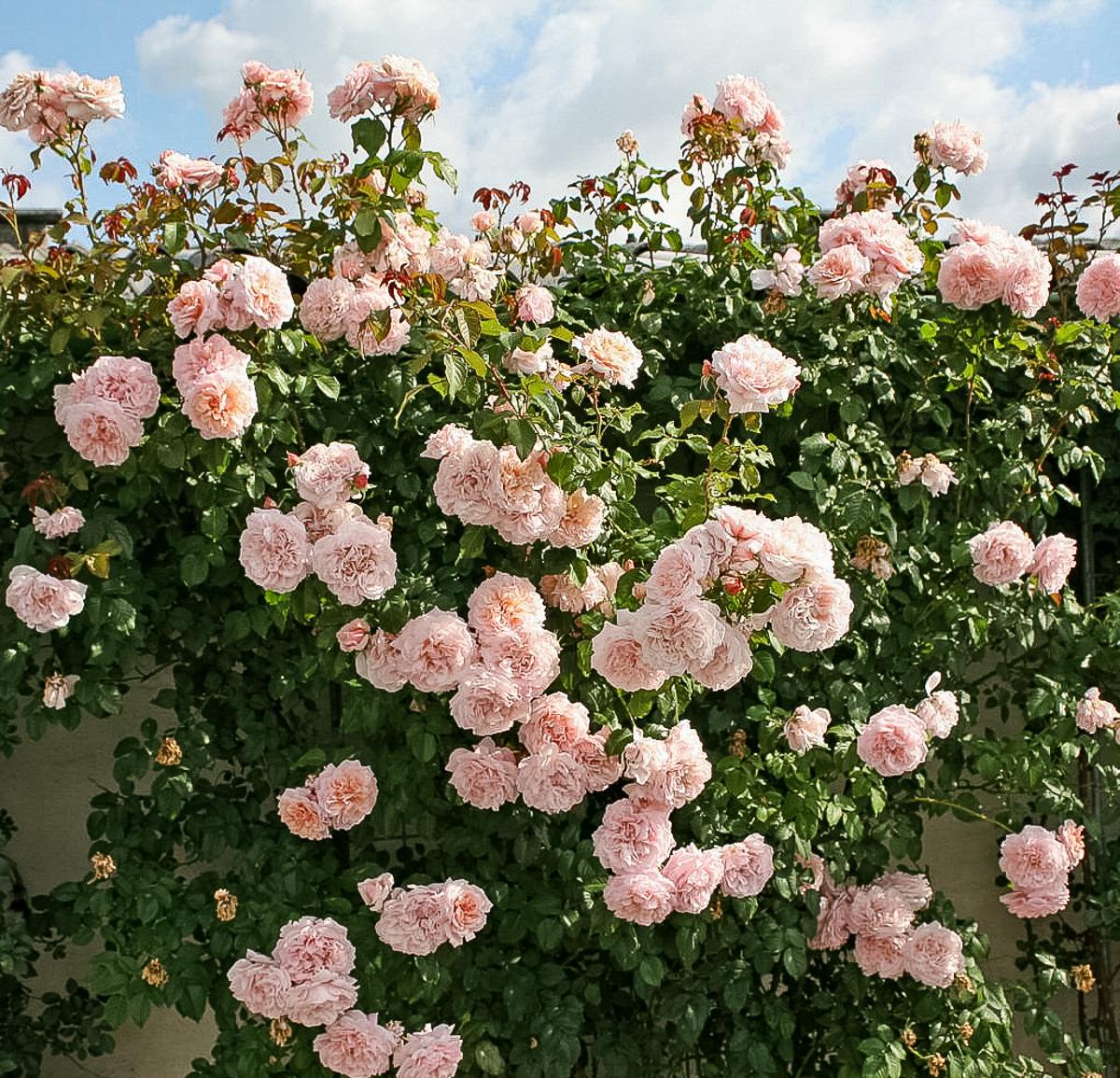 роза де толбиак от кордеса фото диалог