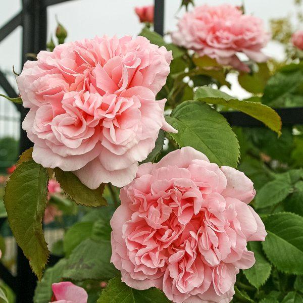 rose de tolbiac garden rose sodo bijūninė rožė gėlės ir manufaktūra