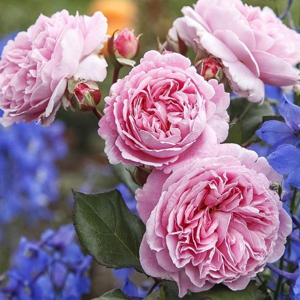 rosengrafin Marie Henriette garden rose sodo bijūninė rožė gėlės ir manufaktūra