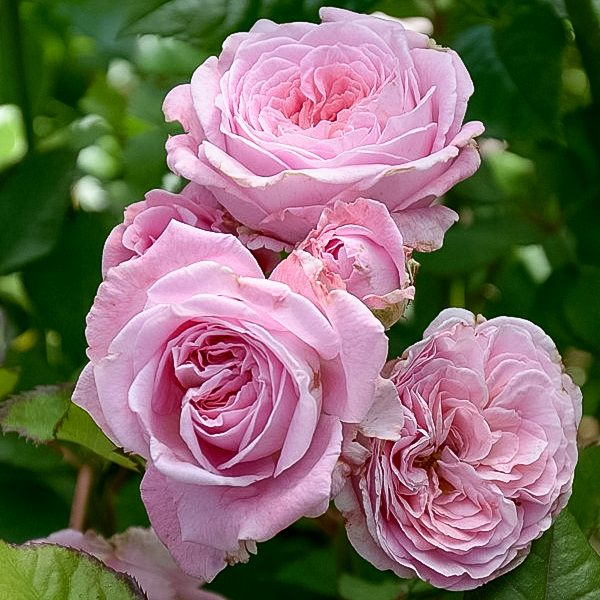 rosengrafin Marie Henriette garden rose fragrance parfum sodo bijūninė rožė gėlės ir manufaktūra