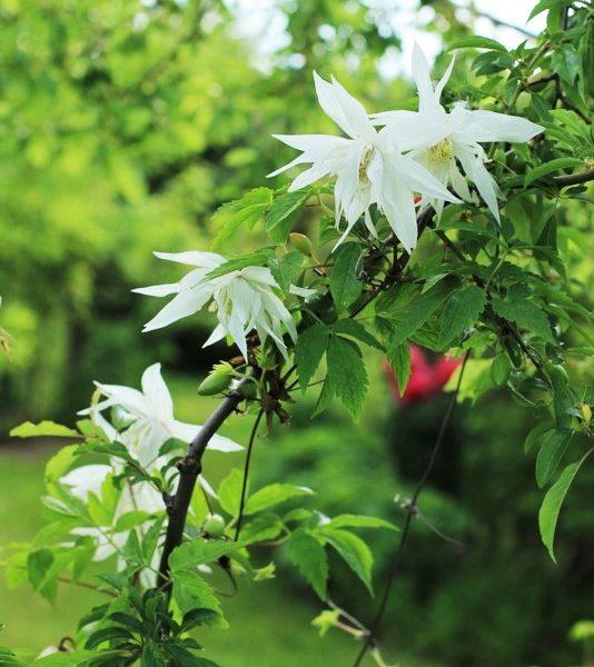 garden plants clematis atragene albina plena climber raganė sodo augalas gėlės ir manufaktūra vijoklis