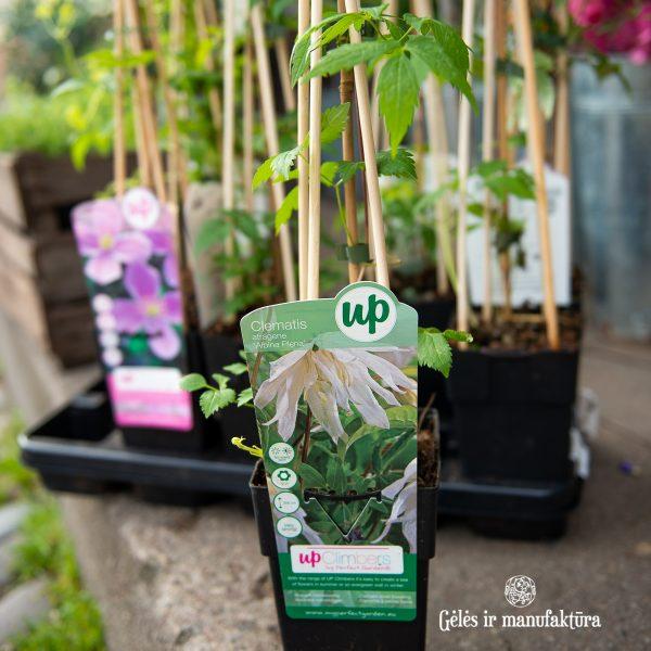 garden plants clematis climber raganė sodo augalas gėlės ir manufaktūra vijoklis