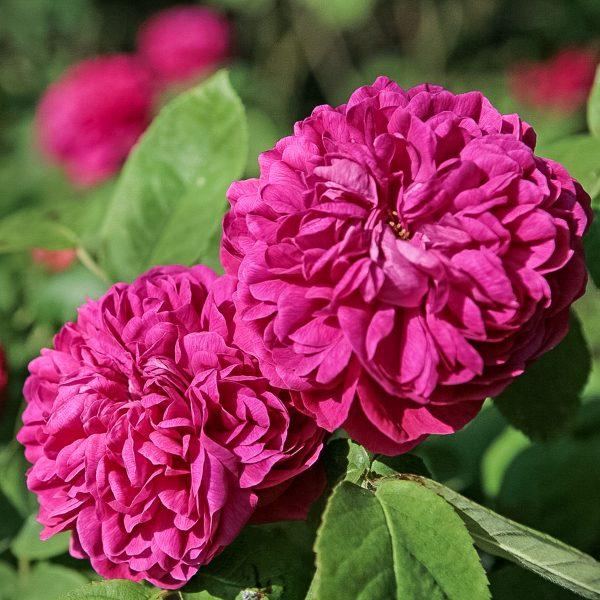 garden roses Portland rosa damascena Rose de Resht fragrance duft sodo rožė gėlės ir manufaktūra