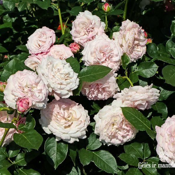 garden roses cluster rosa floribunda Rosenfaszination sodo rožė bijūninė gėlės ir manufaktūra beetrose