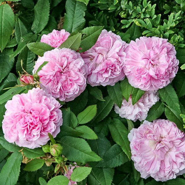 garden roses fragrant rosa Portland old shrubrose Jacques Cartier parfuma sodo rožė bijūninė gėlės ir manufaktūra damask