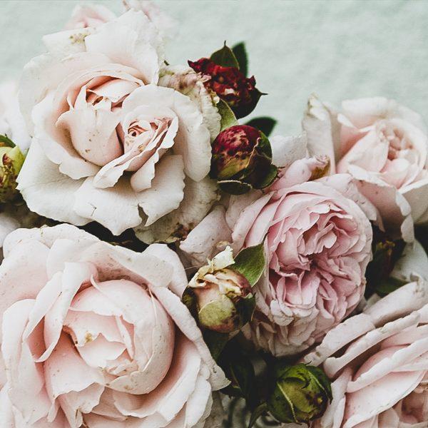 garden roses fragrant rosa shrubrose Constanze Mozart Pretty parfuma sodo rožė bijūninė gėlės ir manufaktūra beetrose
