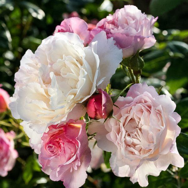 garden roses fragrant rosa shrubrose Hercules parfum sodo rožė bijūninė gėlės ir manufaktūra beetrose