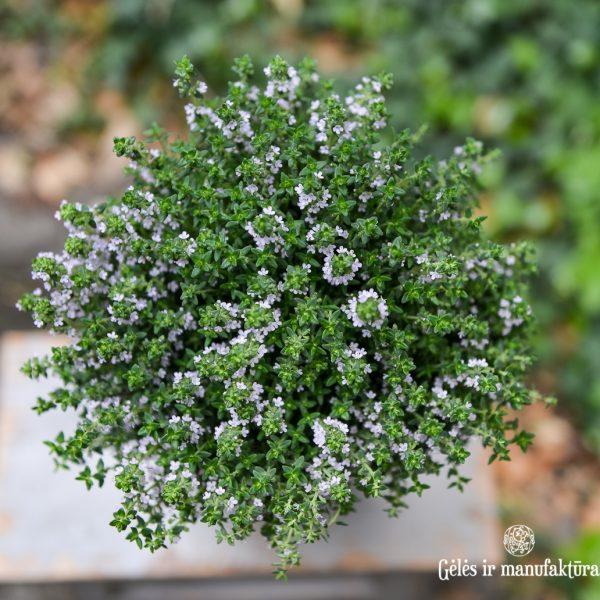 plants thyme thymus vulgaris herbs on stem čiobrelis gėlės ir manufaktūra
