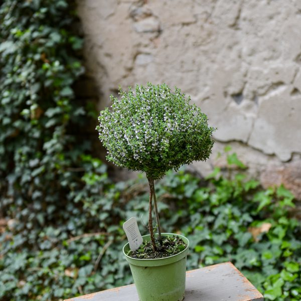 plants thymus vulgaris herbs on stem čiobrelis gėlės ir manufaktūra