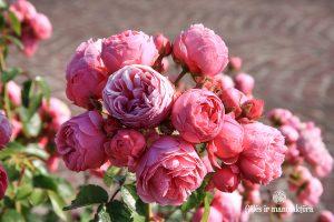 rosa pomponella garden roses sodo rožė bijūninė floribunda gėlės ir manufaktūra